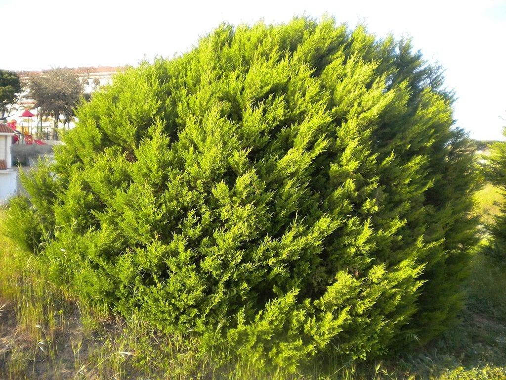 Vista del Juniperus phoenicea