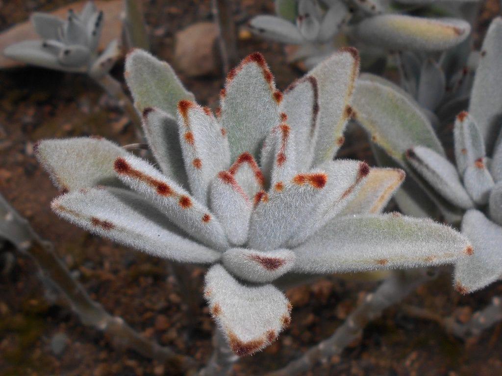 El Kalanchoe tomentosa tiene las hojas carnosas
