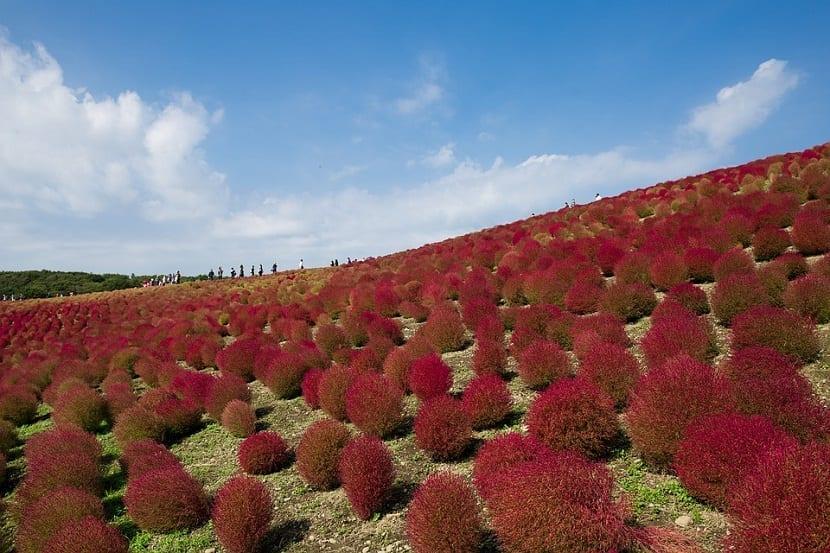 Ladera llena de Kochia scoparia de color rojizo