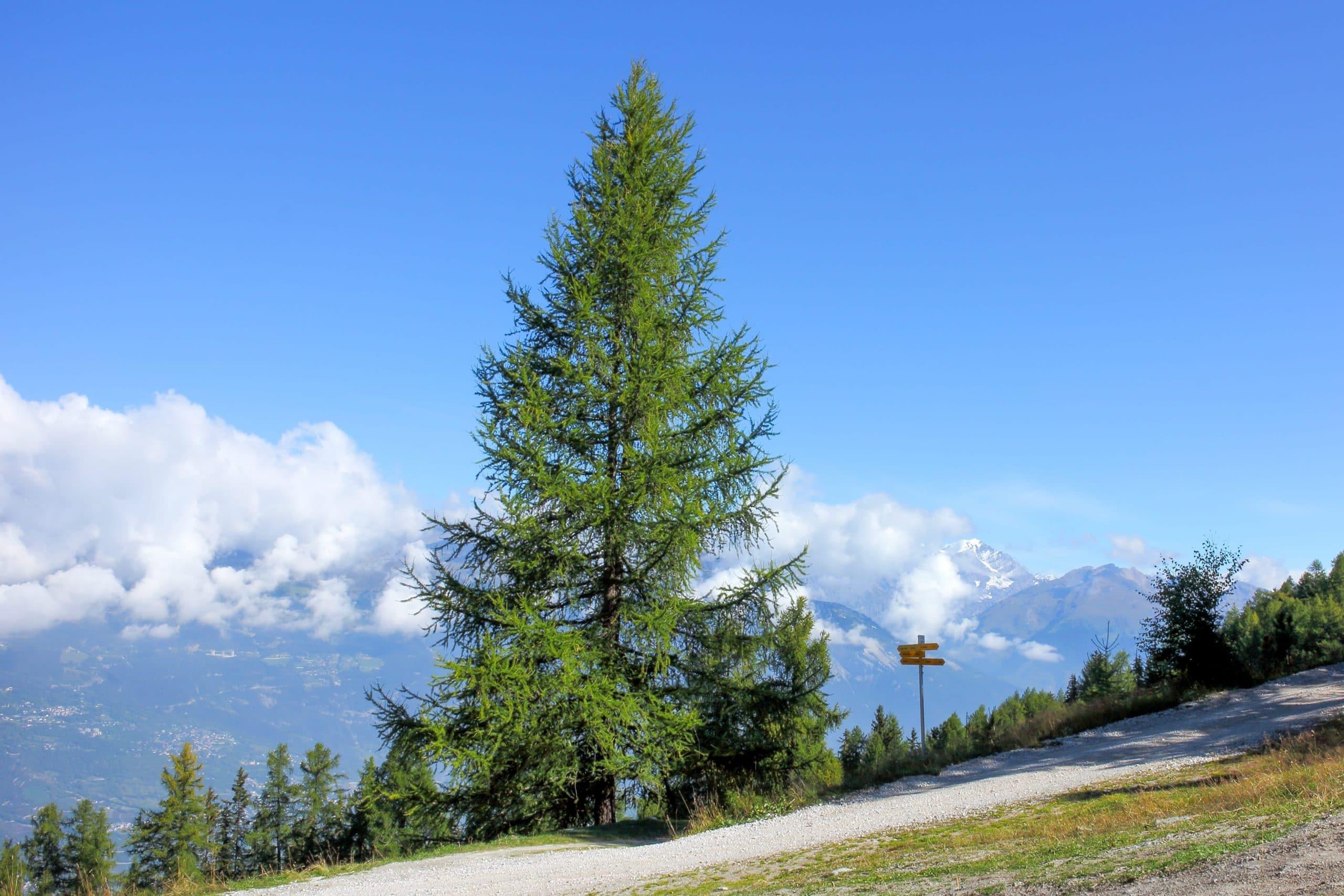 El Larix decidua es una conífera de clima montañoso