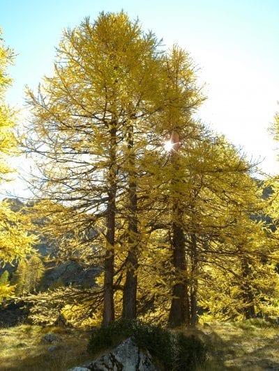 El Larix decidua se pone precioso en otoño