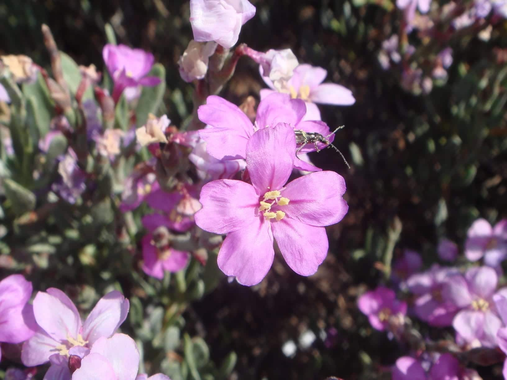 Flor de Limoniastrum monopetalum