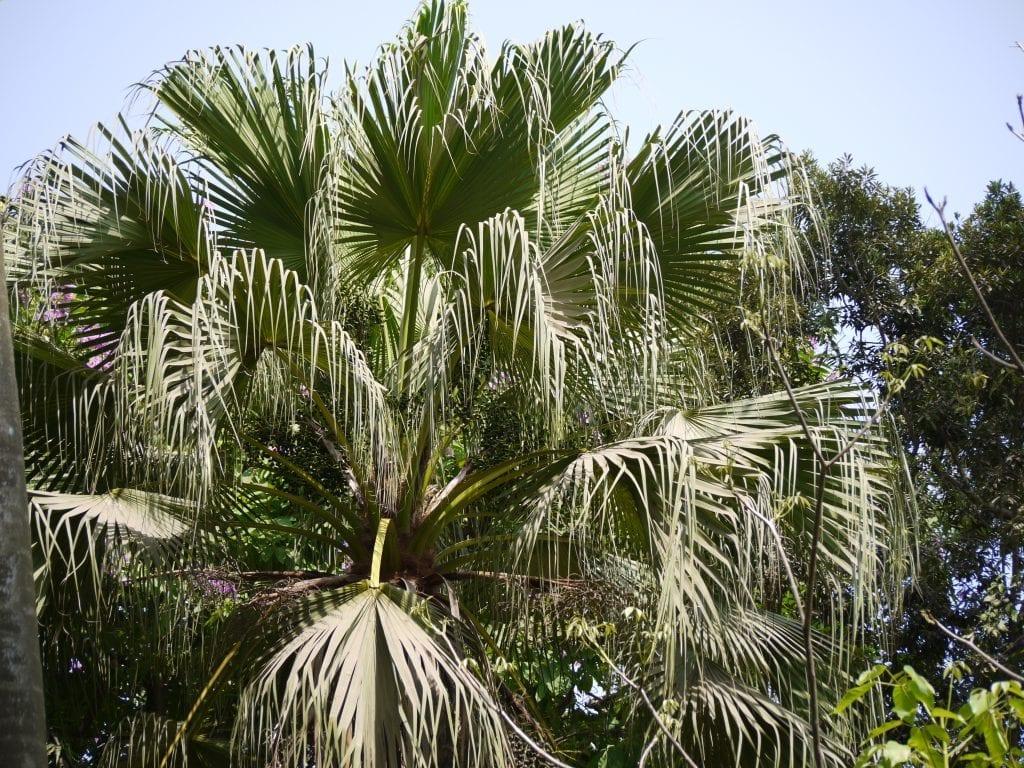 Vista de la Livistona chinensis