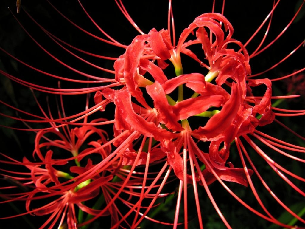 Flor de Lycoris radiata