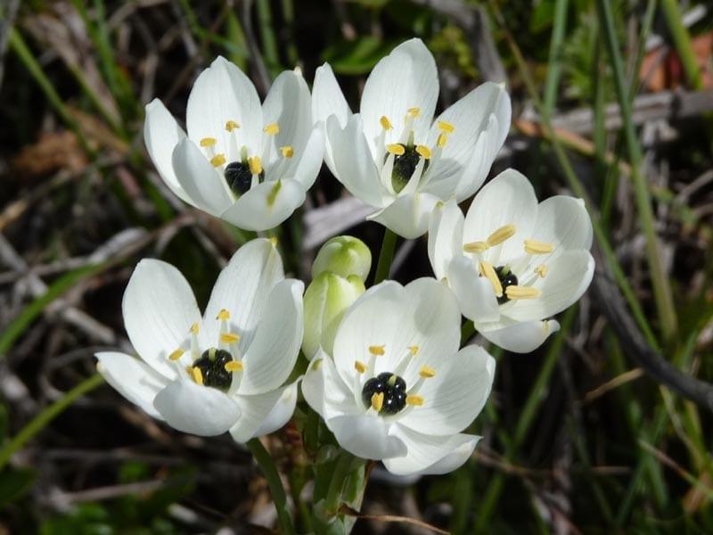 El Ornithogalum arabicum es una bulbosa de flores blancas