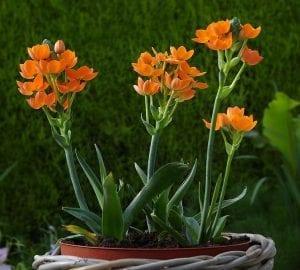 La Ornithogalum dubium produce flores naranjas