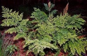Planta de Osmunda regalis