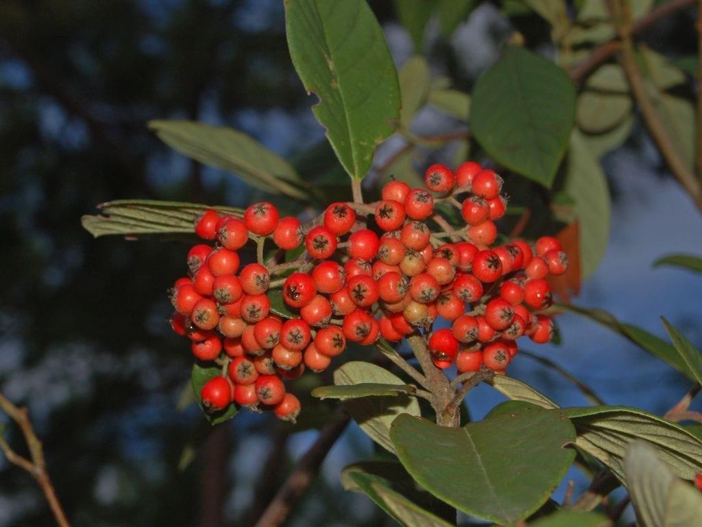 Frutos de la Photinia serrulata