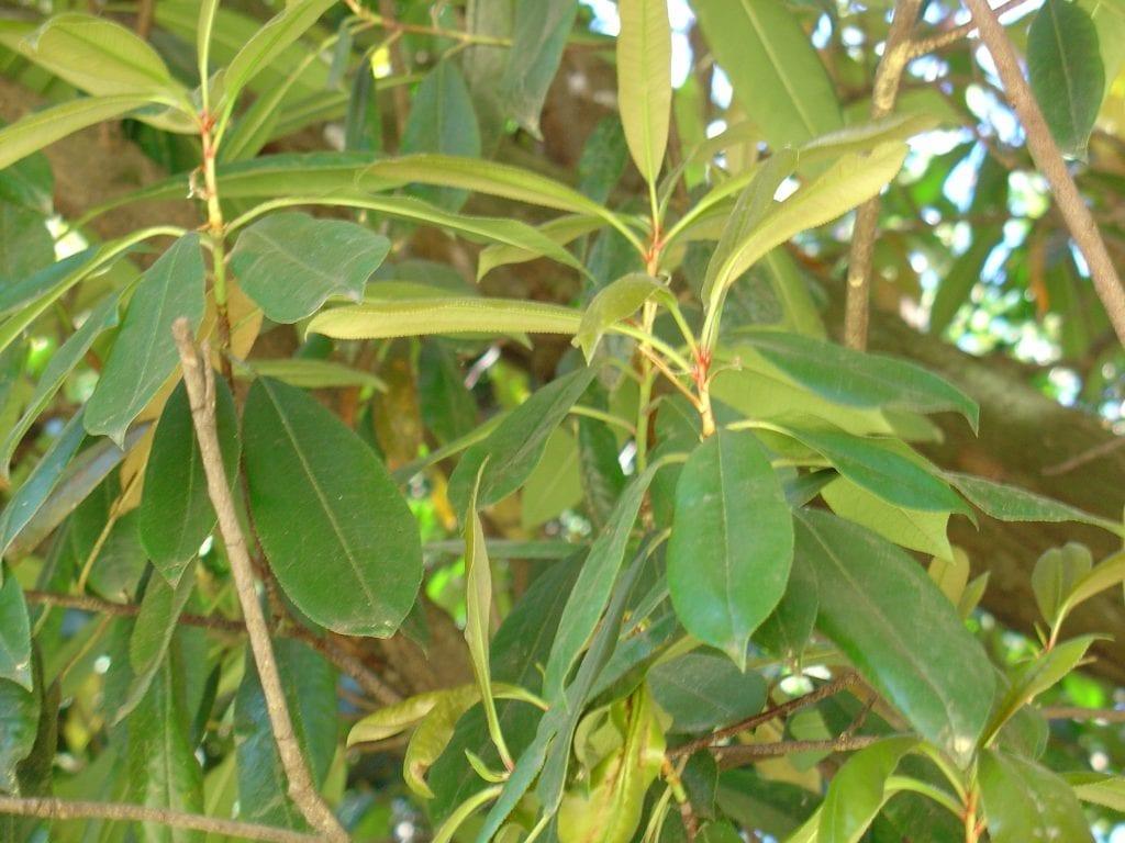 Hojas de la Photinia serrulata