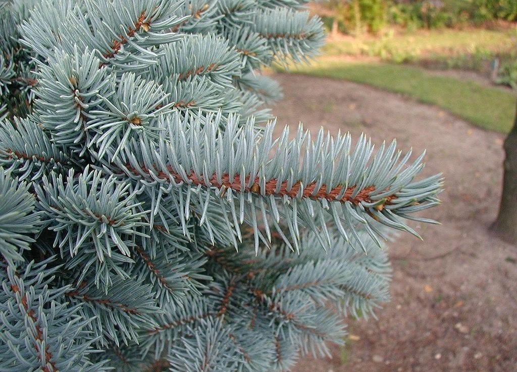 La Picea pungens es una conífera muy decorativa