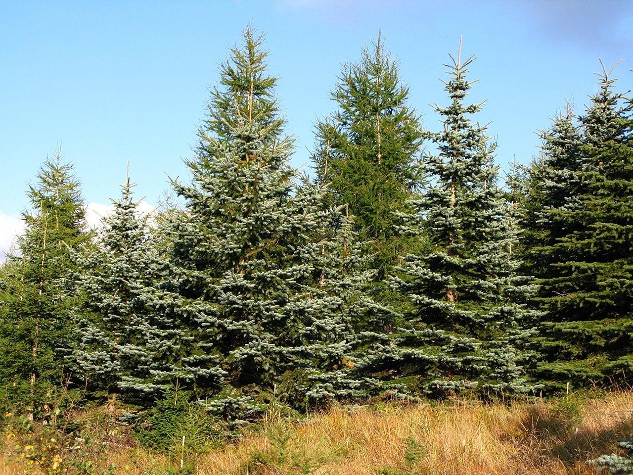 Vista de un grupo de Picea pungens