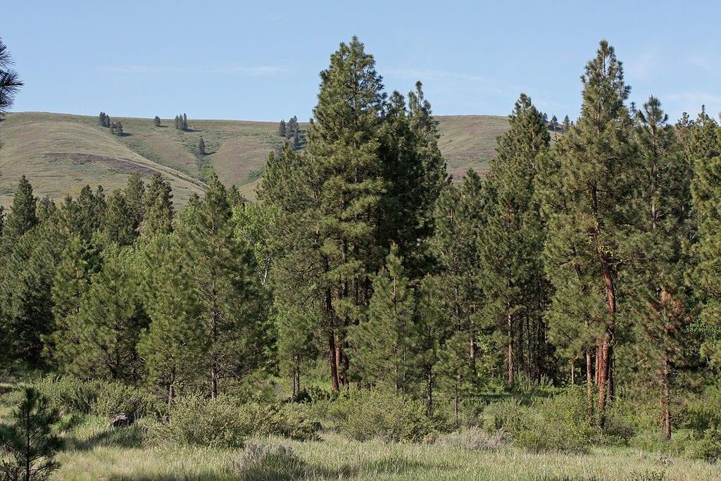 Vista del Pinus ponderosa