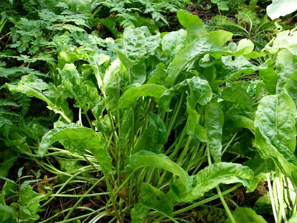 La acedera es una hierba muy interesante para cultivar