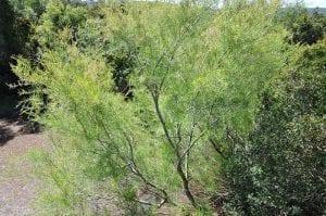 Vista del Tamarix africana