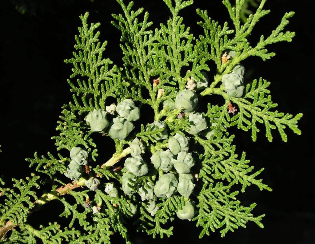 Las hojas de la Thuja orientalis son perennes