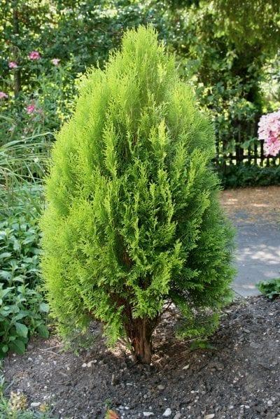 Vista de la Thuja orientalis 'Elegantissima'