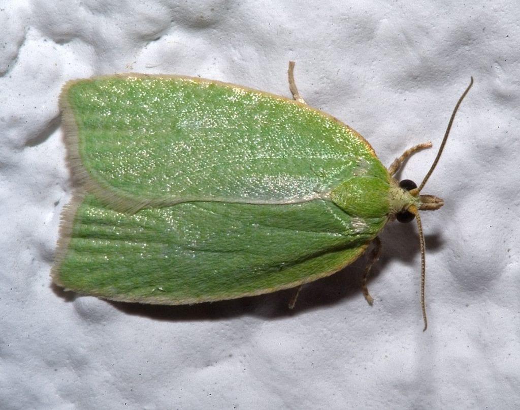 La Tortrix viridana es un insecto que causa muchos problemas a los robles y a las encinas