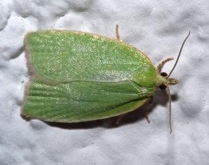 La Tortrix viridana es un insecto que causa muchos problemas a los perales y a las encinas