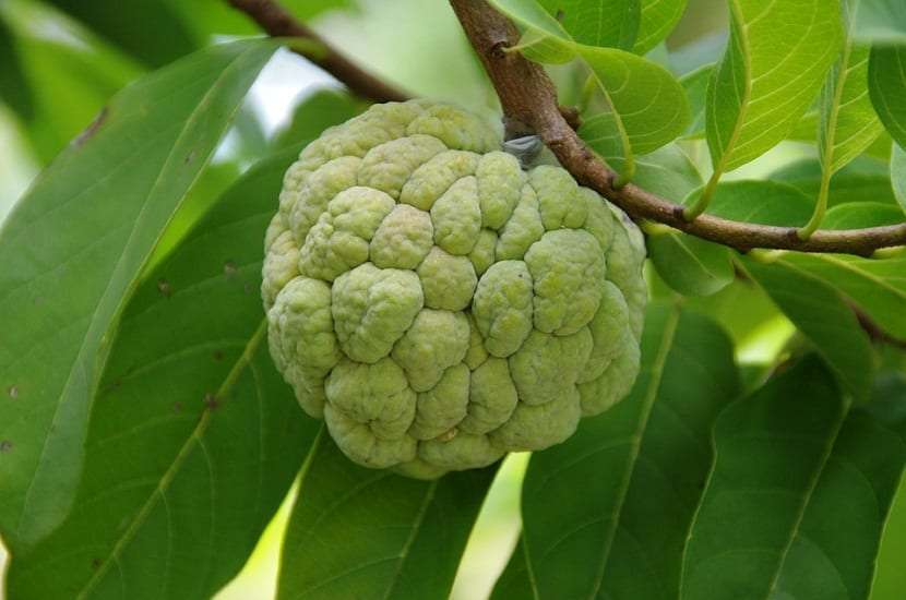 Una chirimoya que se encuentra en la rama de un arbol a punto de coger