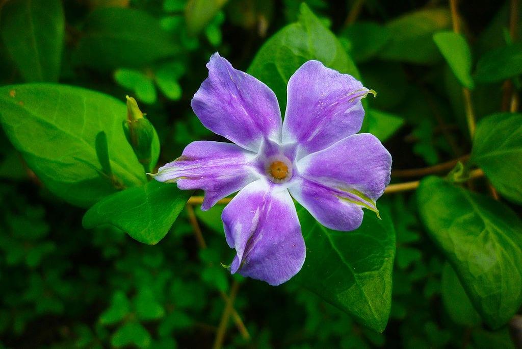 Vista de la flor de la Vinca difformis