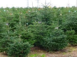 Los abetos de Navidad se utilizan mucho para decorar los hogares en diciembre/enero