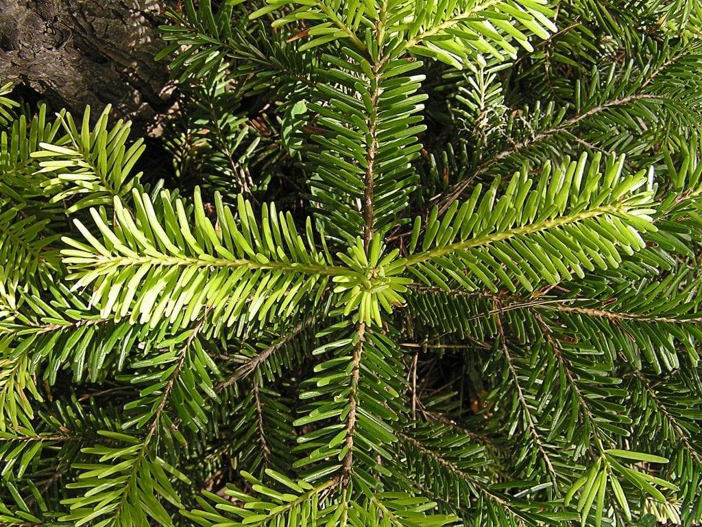 Las hojas del abeto de navidad son perennes y de color verde