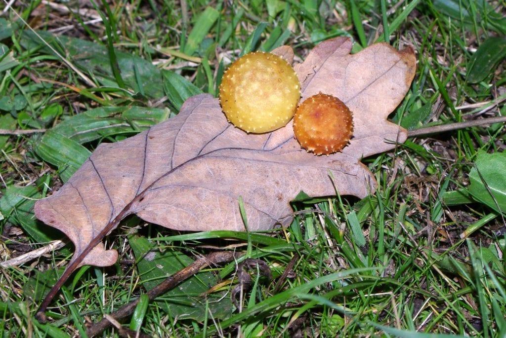 Agalla de Quercus