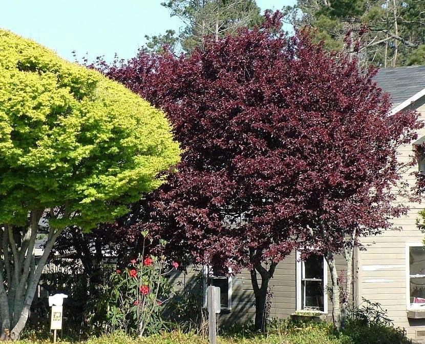 arbol de ciruelo rojo junto a un arbol normal y al lado de una casa