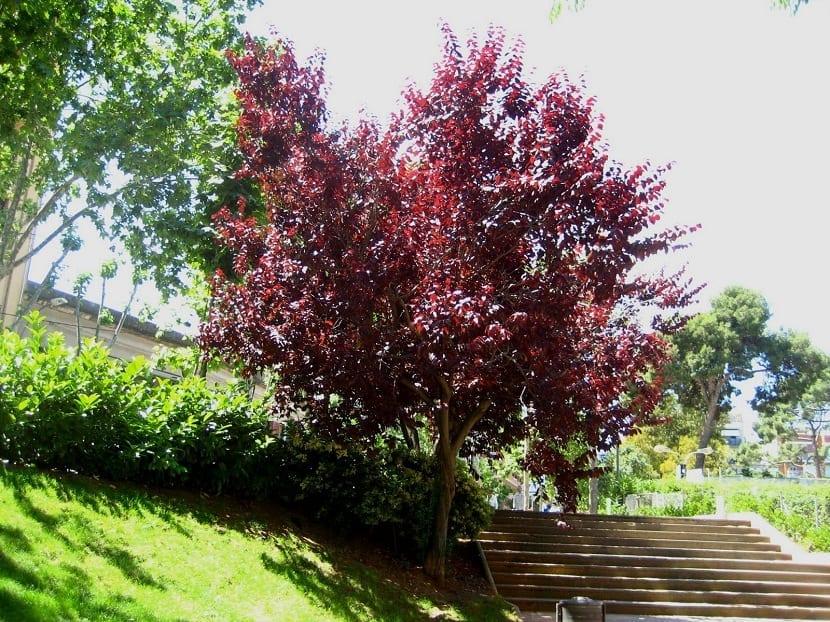 arbol del ciruelo rojo o ciruelo de hojas púrpuras que se encuentra situado en un parque
