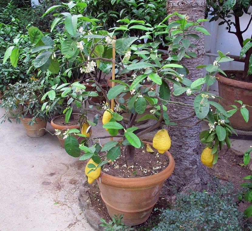 Arbolito de Citrus medica