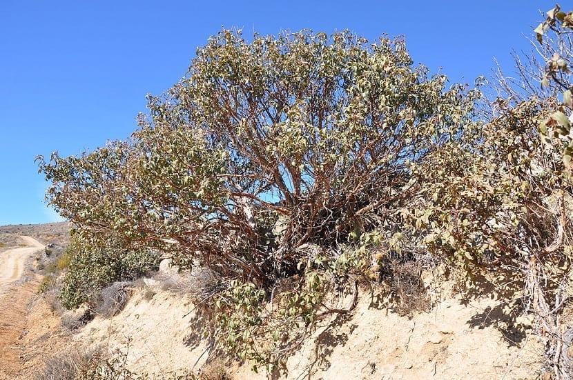 arbusto de Cistus laurifolius