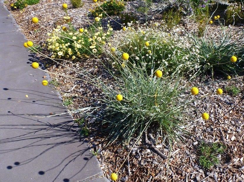 arbusto llamado Craspedia globosa de color amarillo