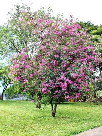 Vista del árbol de la Bauhinia purpurea
