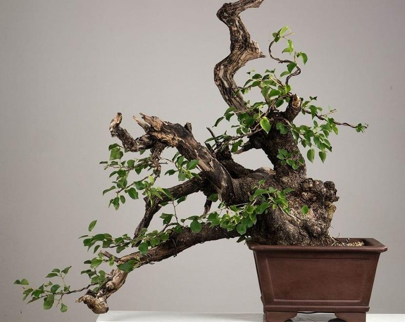 bonsái del Prunus mahaleb