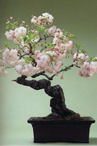Bonsái de cerezo japonés o Prunus serrulata