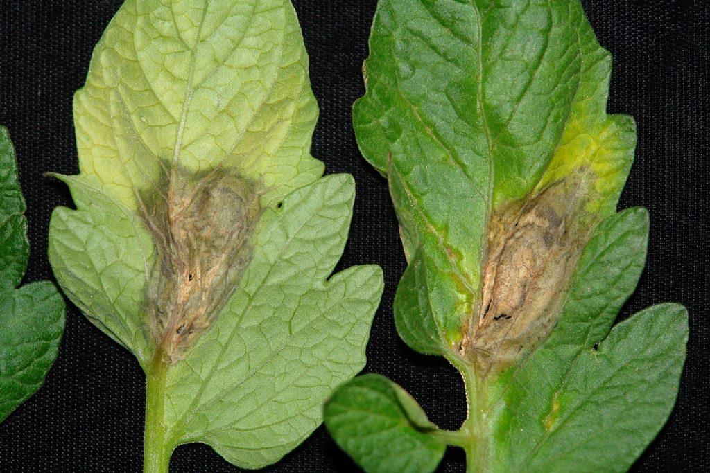 Las hojas con botritis tienen manchas parduzcas