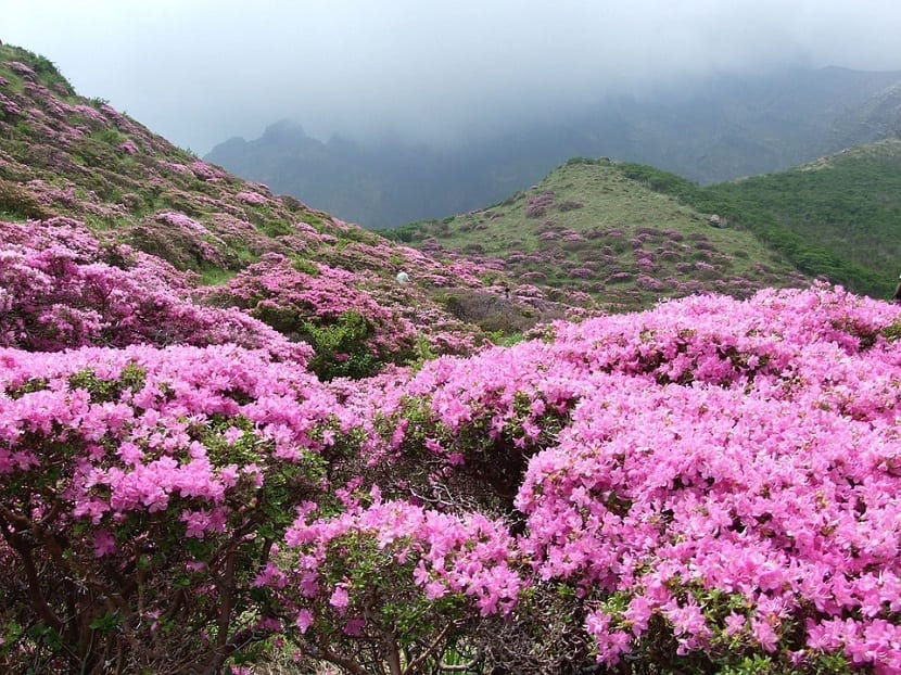 campo lleno de Azalea japónica de color rosa