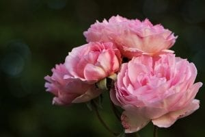 capullos de rosas ingles de cerca