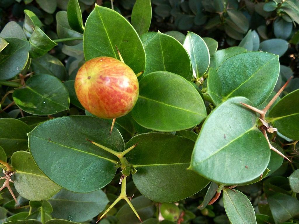 Los frutos de la Carissa macrocarpa son redondos