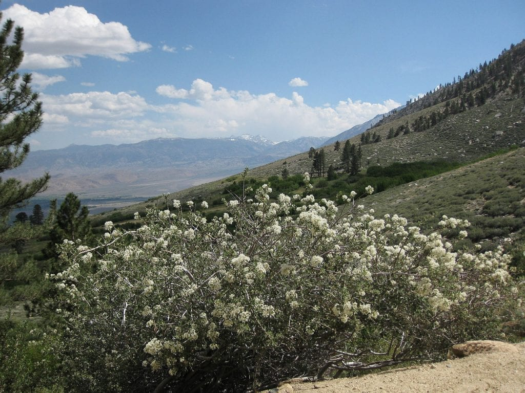Vista del Ceanothus en hábitat