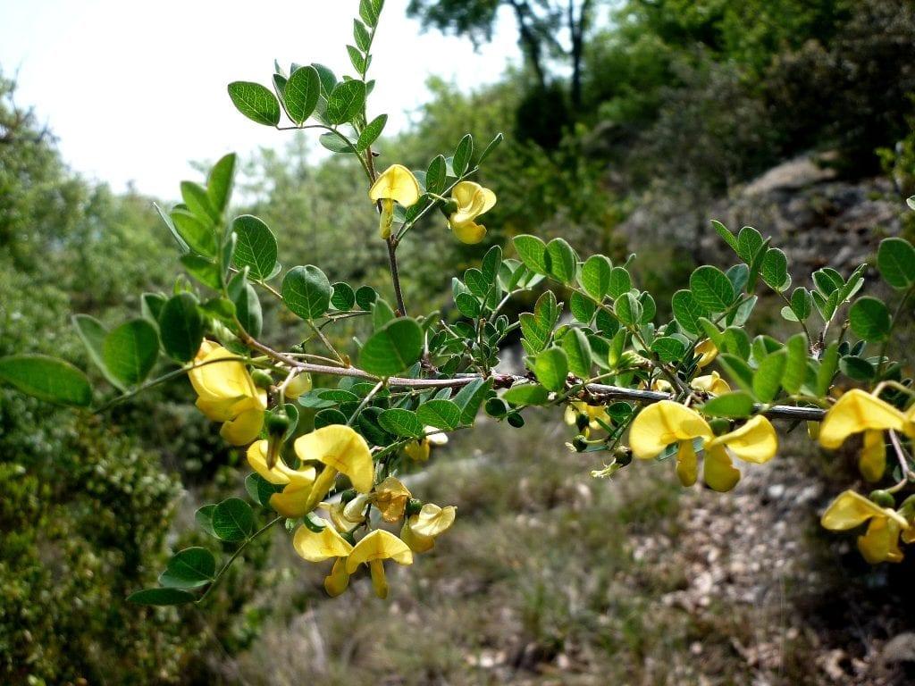 Flores de la Colutea arborescens