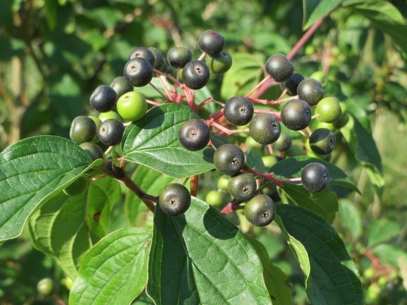 Los frutos del Cornus sanguinea son redondos y pequeños