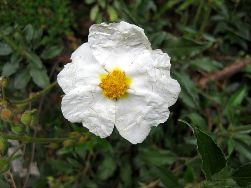 detalle de la flor del Cistus laurifolius