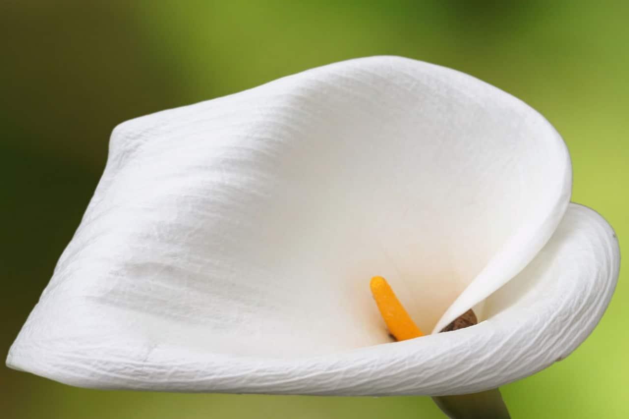 La flor de alcatraz es blanca