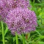 La flor del Allium ampeloprasum es rosa