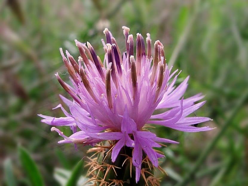 flor de la especie de planta llamada Centaurea aspera de color rosaceo