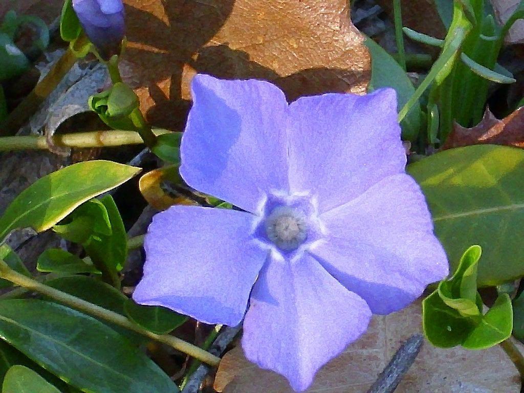 Flor abierta de la Vinca difformis