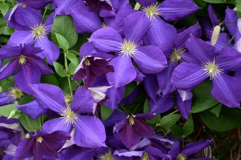 flores abiertas de color morada de la planta Clematis Jackmanii