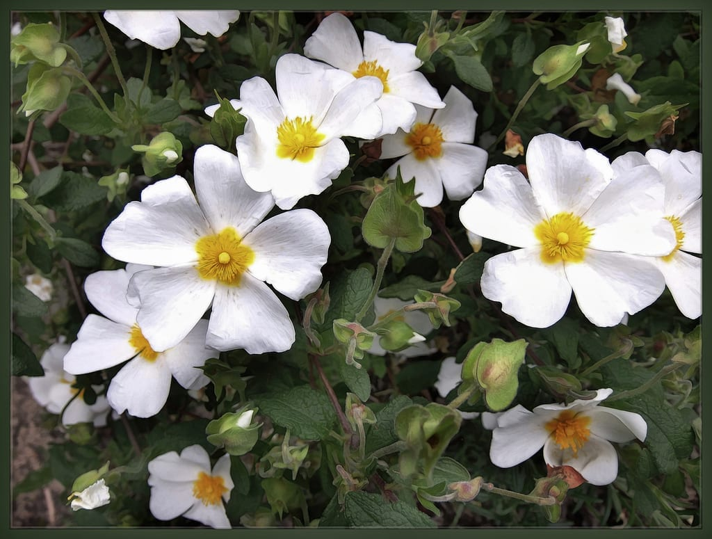 Las flores del Cistus salviifolius son blancas