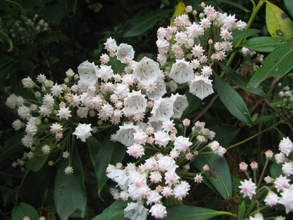 Flores de Kalmia